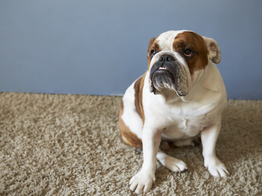 Remove Troublesome Pet Stains and OdorsSchedule a carpet or upholstery cleaning appointment in Kyle & Bluff Springs, TX